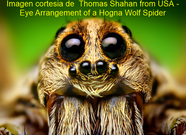 Eye Arrangement of a Hogna Wolf Spider